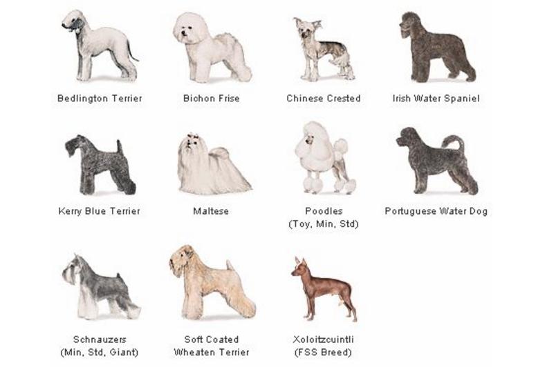 hipoallergén kutya