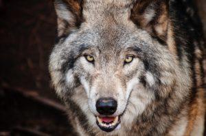 szocializált farkasok