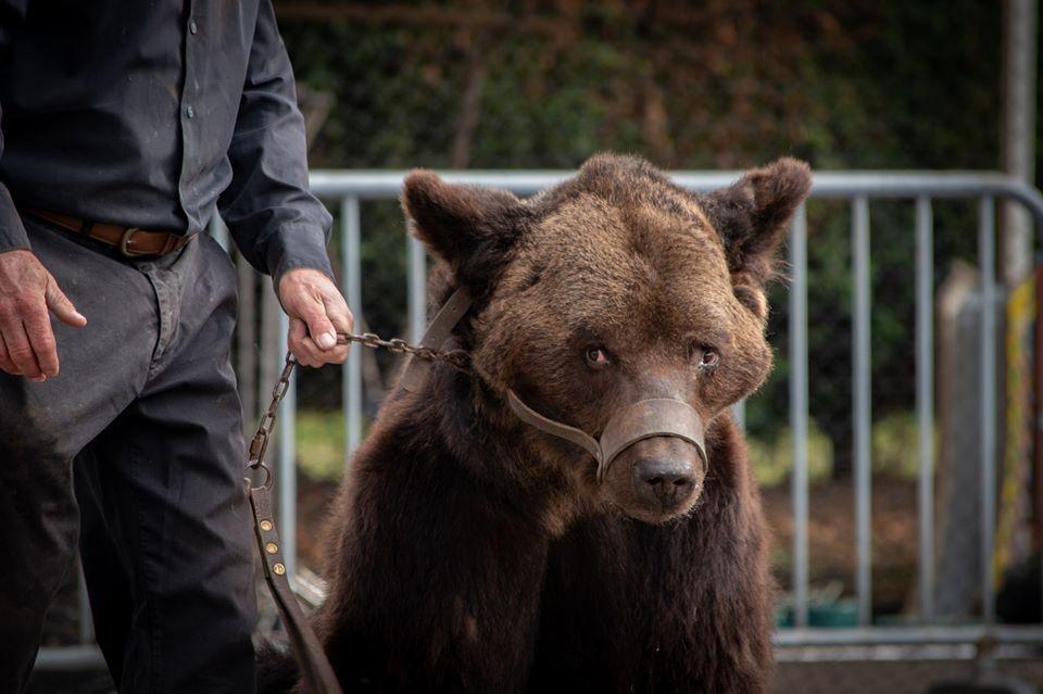 cirkuszi medve