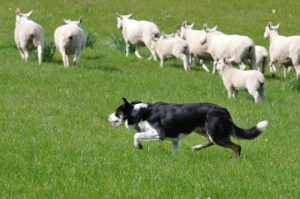 terelő collie munkakutya - kutyafajták