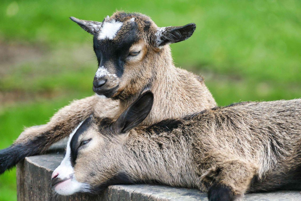 kecske kölykök