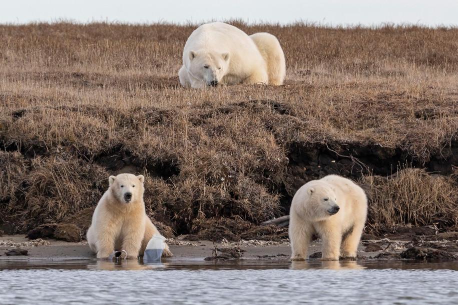 Jegesmedvék műanyag hulladékkal játszanak Alaszkában.