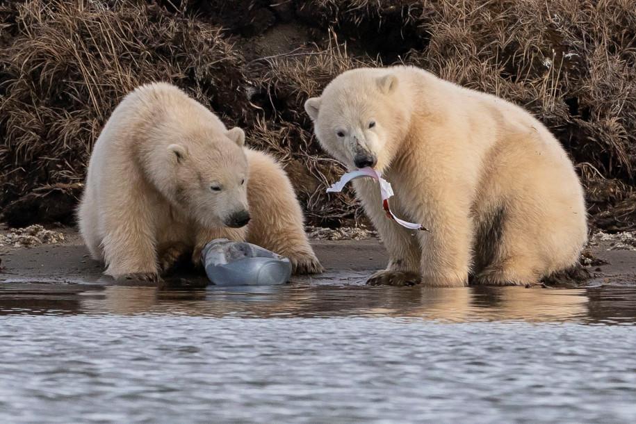 Jegesmedvék műanyag hulladékot esznek Alaszkában