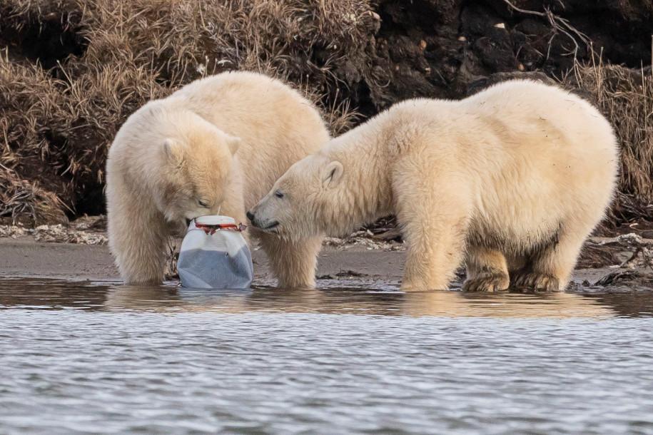 Jegesmedvék műanyag palackot esznek