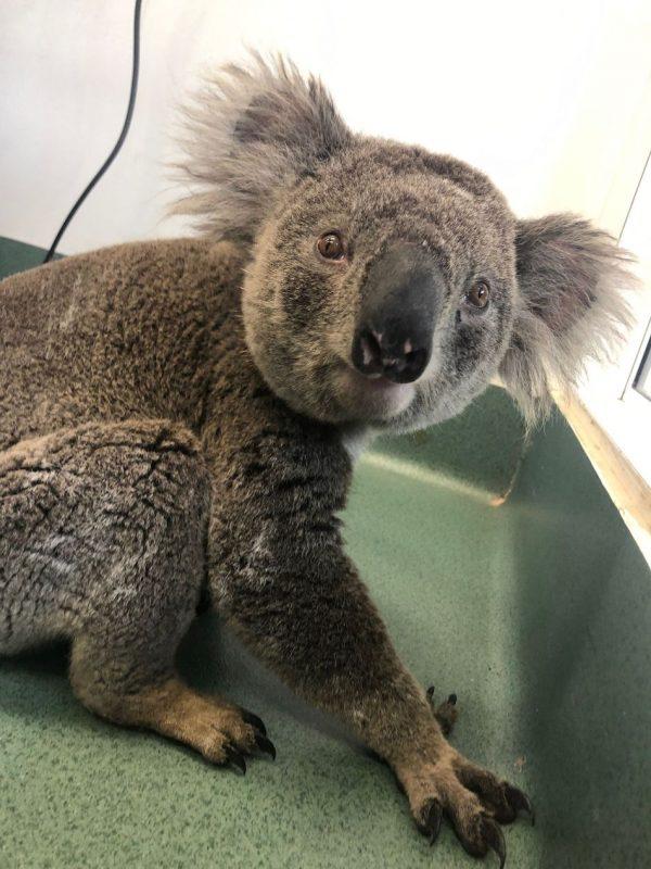 Koala kórházban