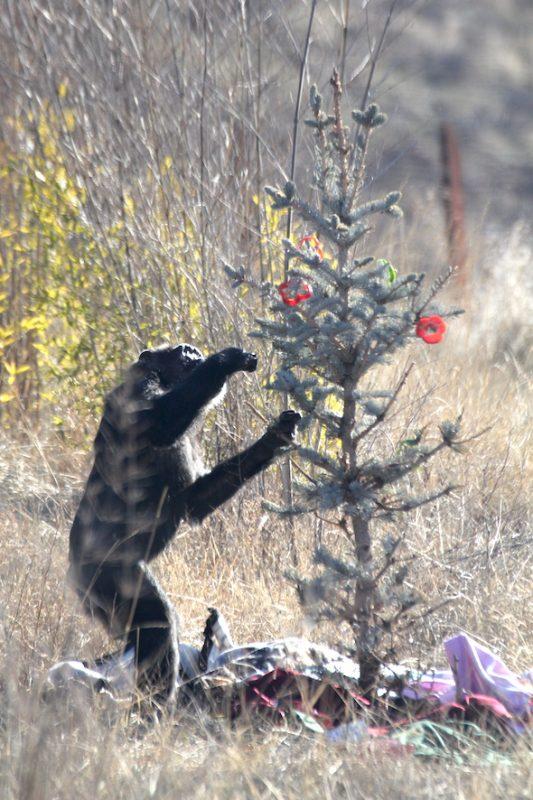 csimpánzok karácsonya