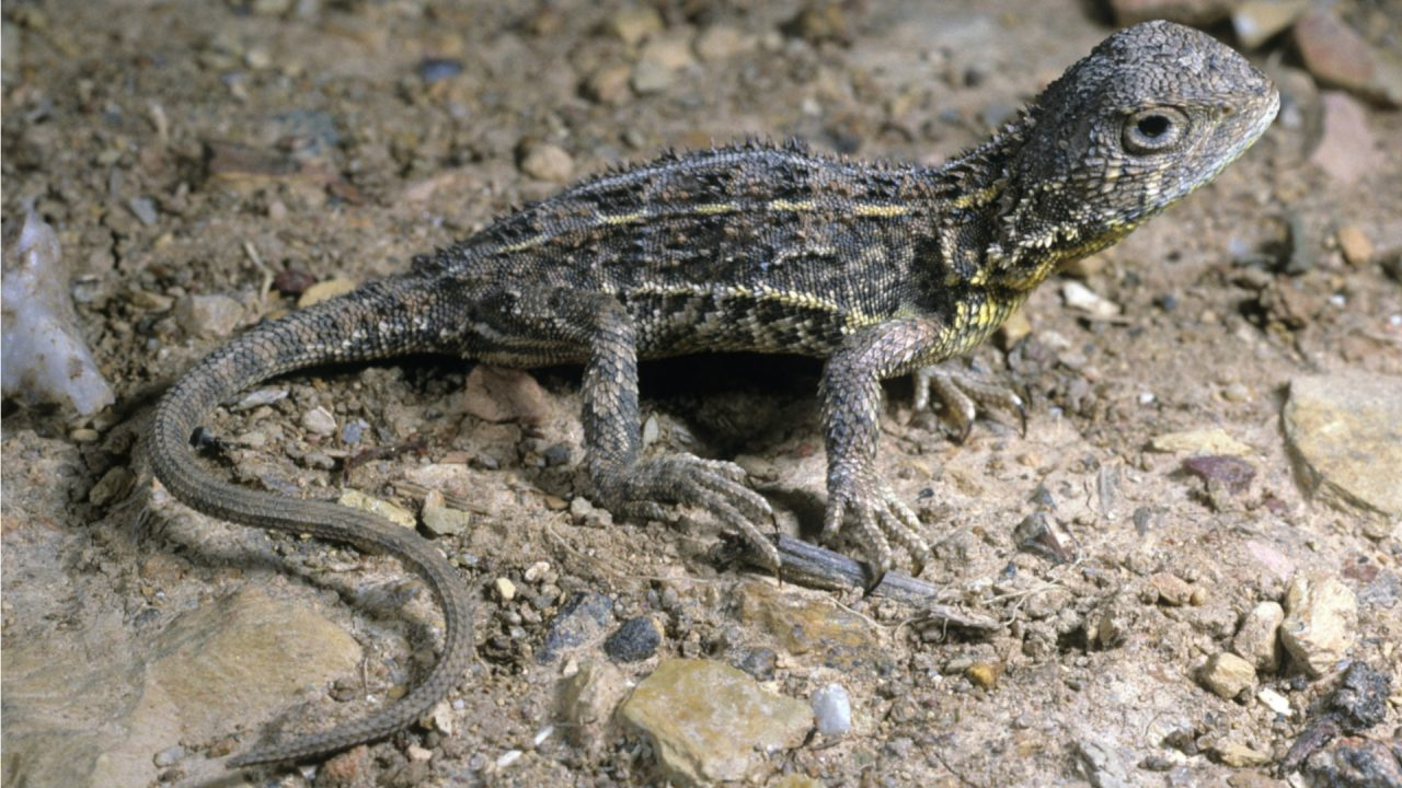 Victorian grasslands earless dragon (Tympanocryptis pinguicolla)