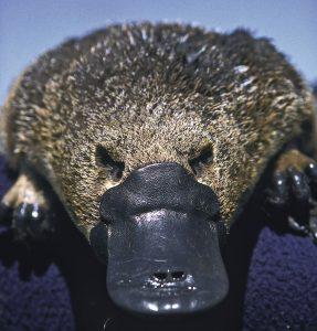 kacsacsőrű emlős hatodik érzék