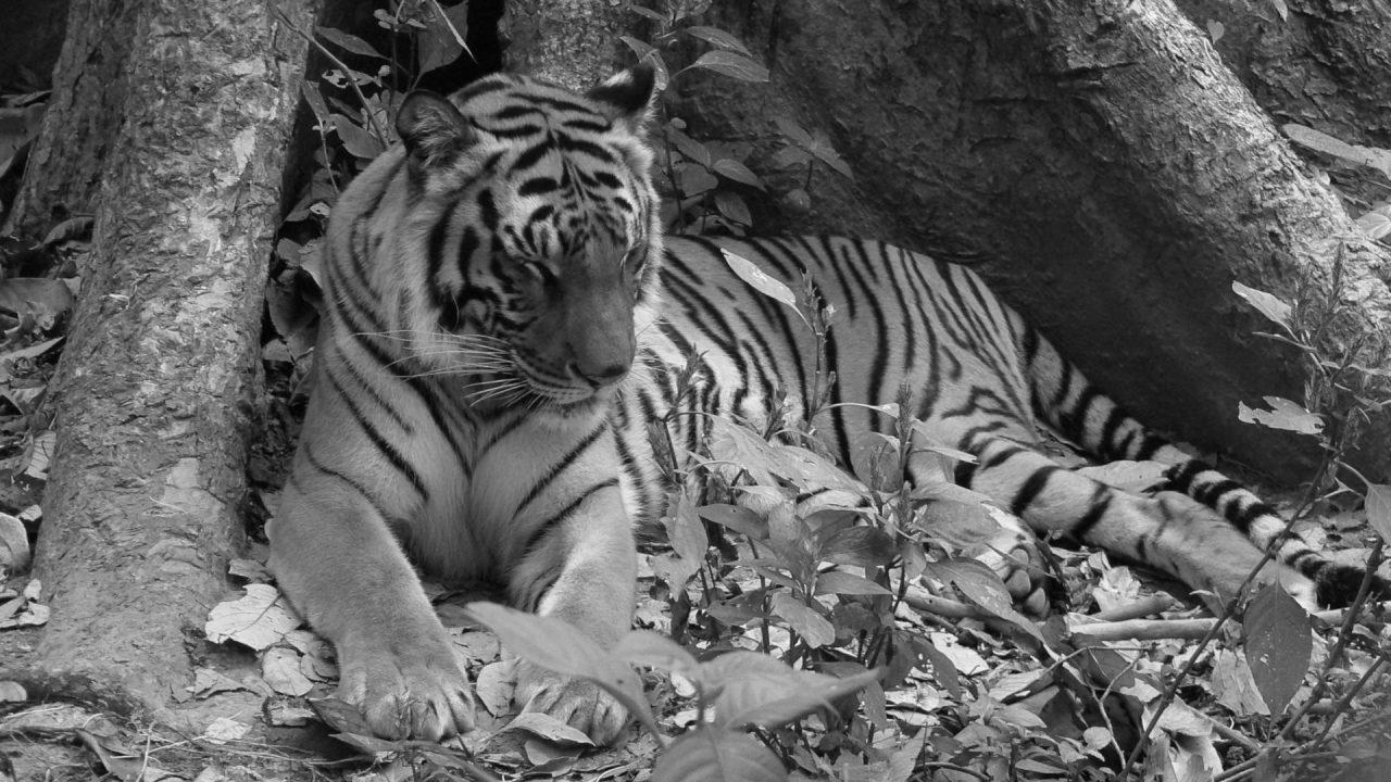 Indokínai tigris