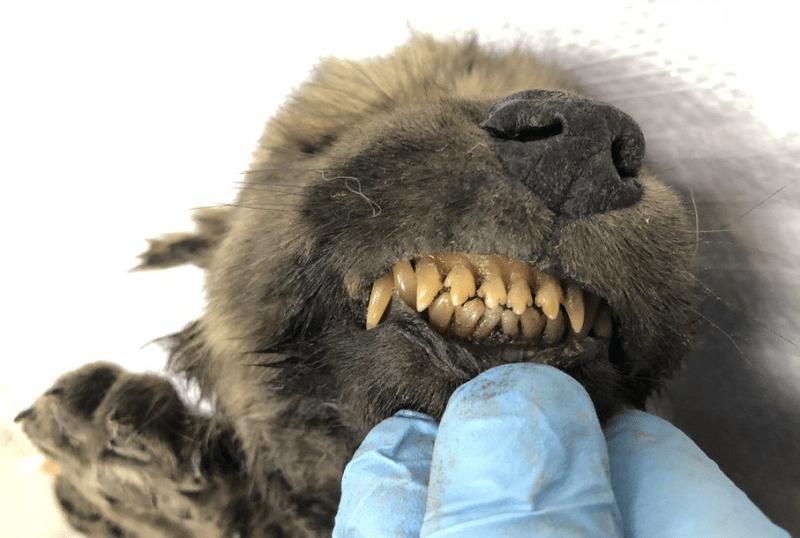 Dogor kutya lelet Szibéria