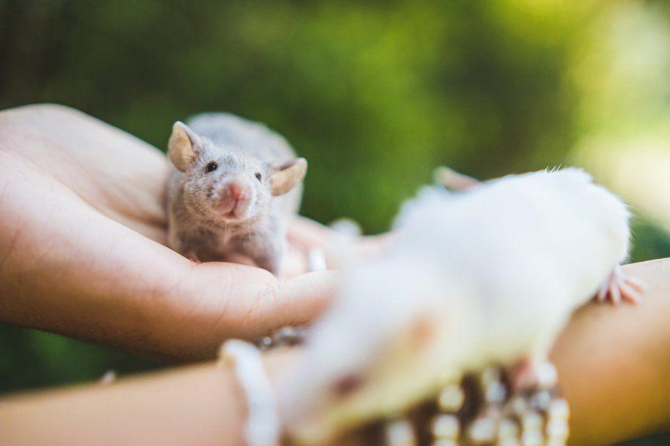 laboratóriumi állatokat fotóz a fotós