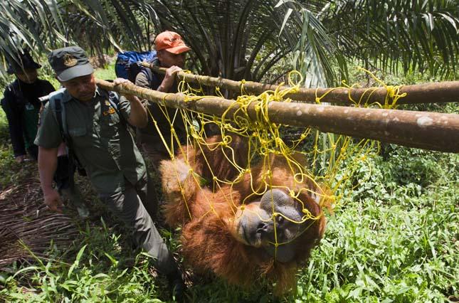 pálmaolaj előállítása miatt kipusztulnak az állatok
