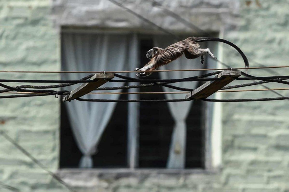 Kolumbia, Medellín. Ezüstbarna tamarin majom. Fotó: Joaquín Sarmiento / AFP