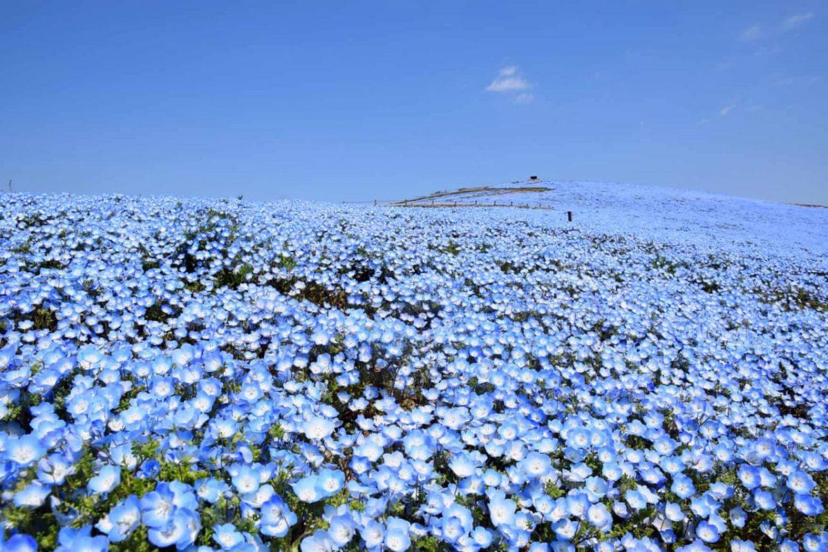 Japán, Hitachinaka. Nemophilia virágmező. A park április 4 óta zárva tart a koronavírus járvány miatt. Fotó: Jiji Press / EPA