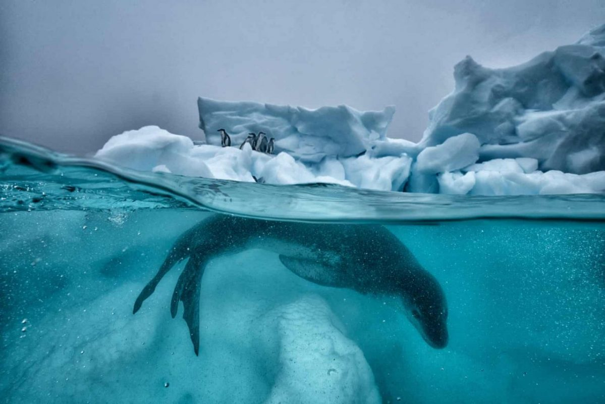 Antarktisz. Egy leopárdfóka járőrözik a jég alatt, miközben a parton pingvinek egy csoportja biztonságba helyezte magát. Fotó: Cristina Mittermeier