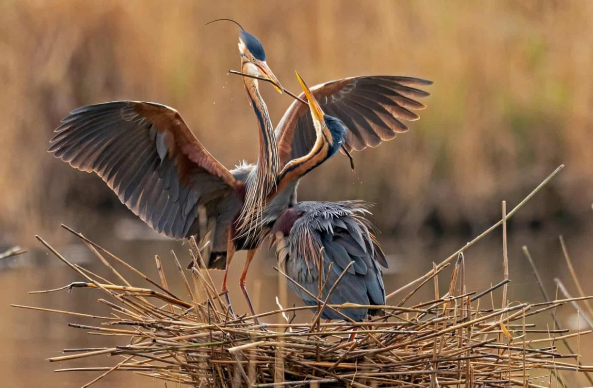 Németország, Waghausel. Lila gémek a Wagbachniederung természetvédelmit területen, mely egy fontos pihenő helyszín számos madárfaj részére. Fotó: Ronald Wittek/EPA
