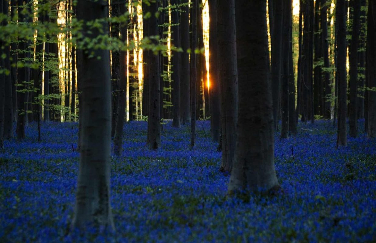 Belgium, Halle, Hallerbos erdő. Kék harangvirágok a napfelkeltében. Fotó: Virginai Mayo/AP