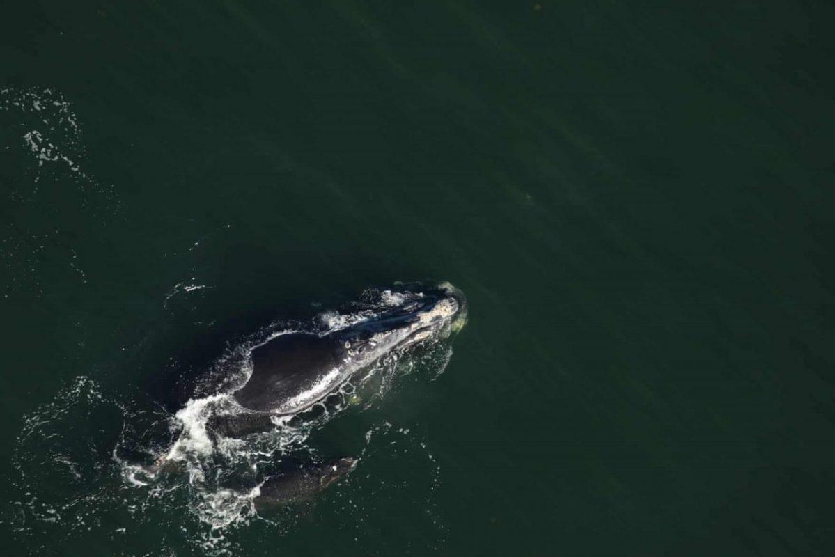 USA, Georgia partjai. Egy sérült bálna borjú úszik anyja mellett. A borjú fejét mindkét oldalon mély vágások borítják. A sérülés keletkezésének oka ismeretlen a megfigyelők számára. Fotó: Florida Fish and Wildlife Commission/AP