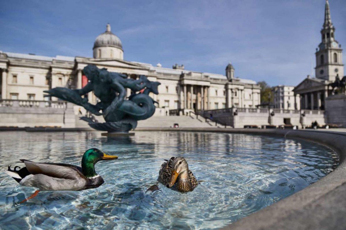 Egyesült Királyság, London. Megszaporodtak a szökőkutakban úszkáló kacsák száma, mivel alig van ember a városban a korlátozások miatt. Fotó: Emerson Utracik / Rex / Shutterstock