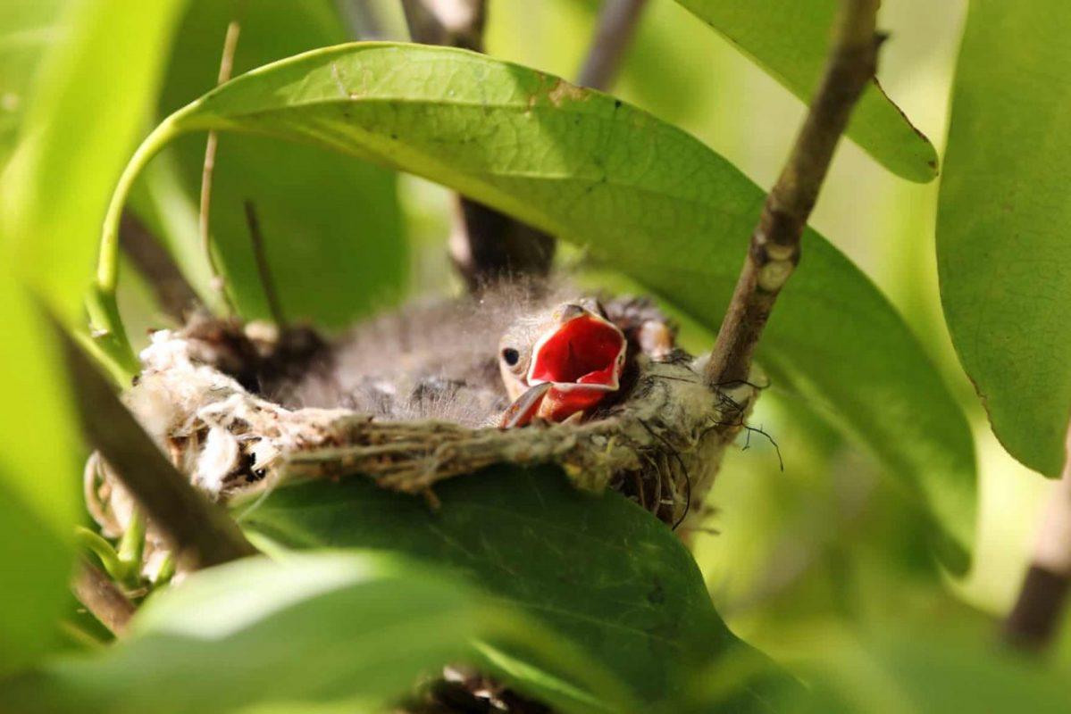 Kolumbia, Puerto Gaitana. Fiókák egy fészekben, egy ültetvényen. Fénykép: Carlos Ortega / EPA