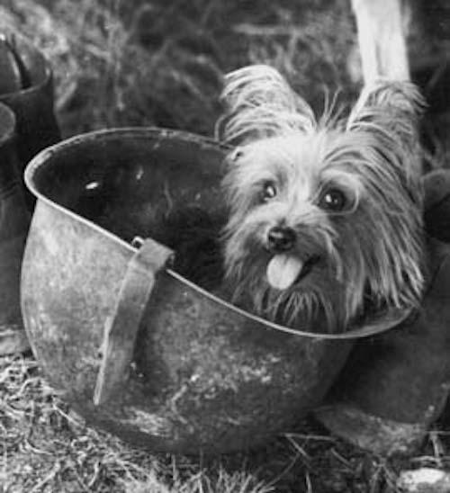 Smoky a világ első terápiás kutyája