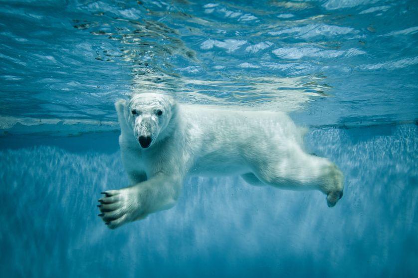 jegesmedve úszik