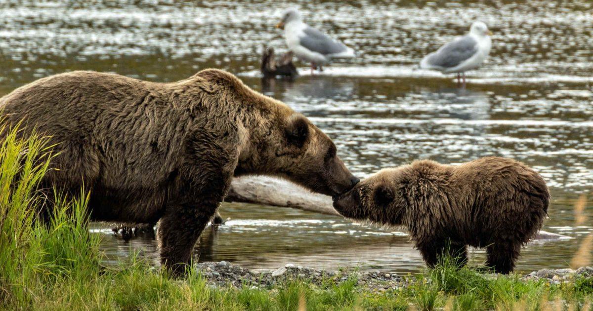 alaszkai medve
