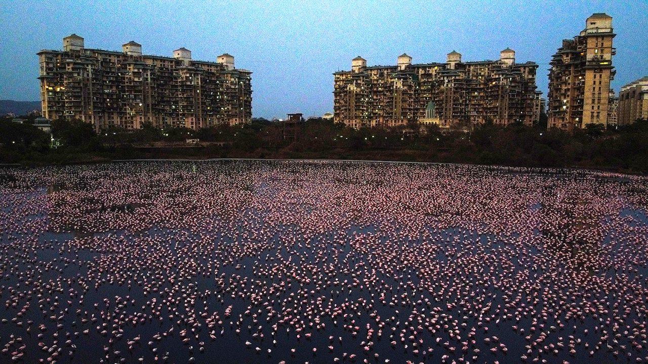 Flamingók ezrei Indiában