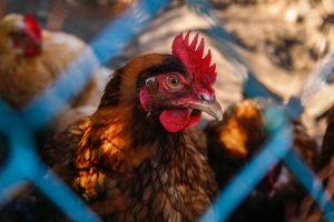 Jane Goodall közlemény csirke