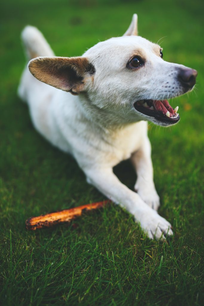 kistestű kutyák fogápolás
